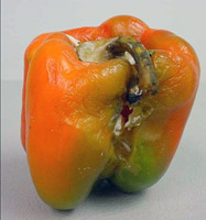 Bell pepper infection