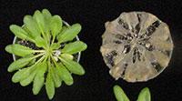 Arabidopsis infection